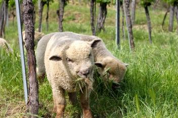 Lämmer im Weingarten