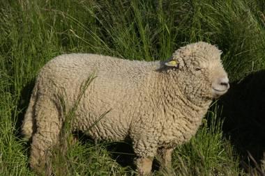 Schafe4
