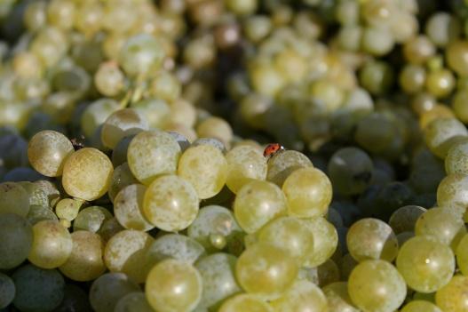 Marienkäfer auf Weintrauben