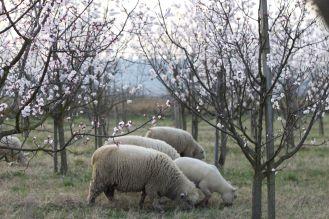 Schafe im Marillengarten