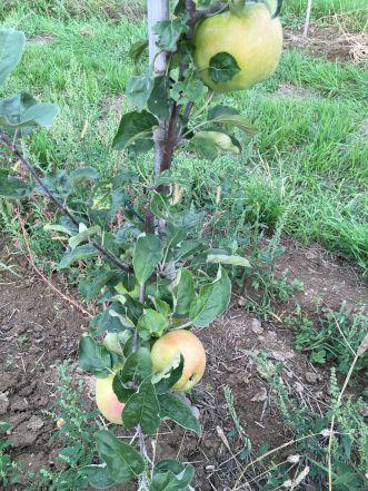 Apfelernte 2017