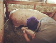 Lorenz mit den Schafen