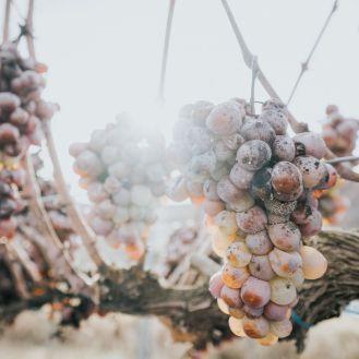Süßwein-Trauben
